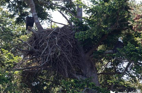 Bald eagle's nest whale researcher tour