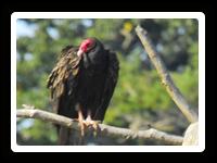turkey vultures are raptors
