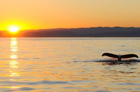 Humpback Whale tail fluking at sunset