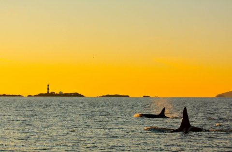 Killer Whales swimming at sunset near Race Rocks Reserve