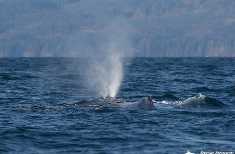 A powerful blow by a Humpback Whale