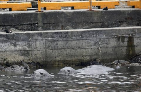 Northern Elephant seals floating in the shallow waters at Race Rocks