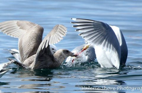 Feeding frenzies are a common occurance in the spring when the feed on the Herring