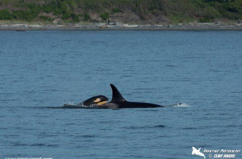 Baby killer whales can be seen