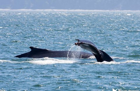 Tail fluking by one Humpback whale