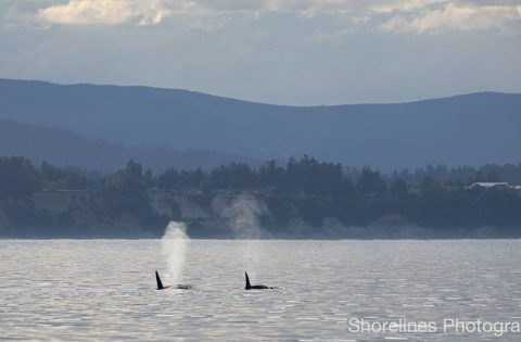 killer whales are seen on occasion in the spring