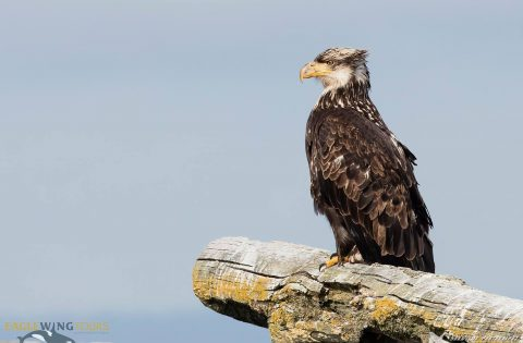 Many juvenile Bald Eagles are in the area