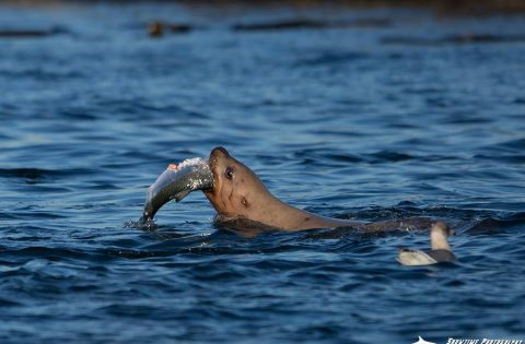 Steller Sea lion feeding on a salmon