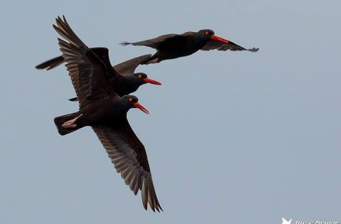 Black Oystercatchers are common all year