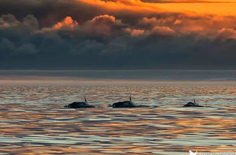 Orca pod swimming into the sunset