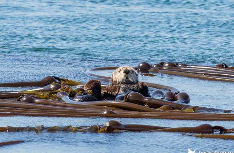 Sea Otter at Race Rocks