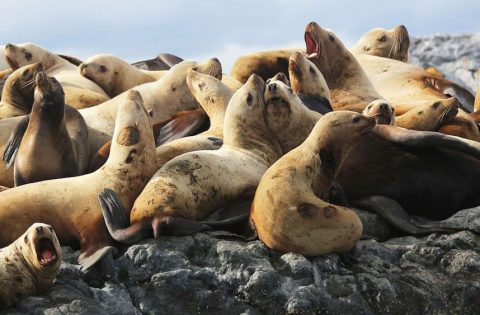 Steller Sea Lions are often hauled out on the rocky outcroppings in the Spring