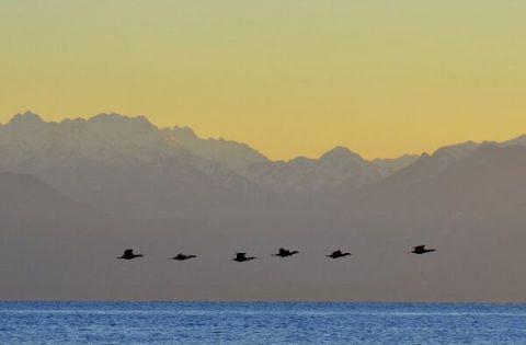 Pelagic Cormorant flying at sunset