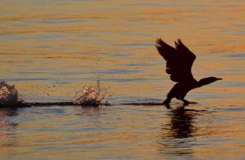Cormorant taking off for flight at sunset