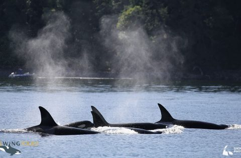 Pod of orca swimming together