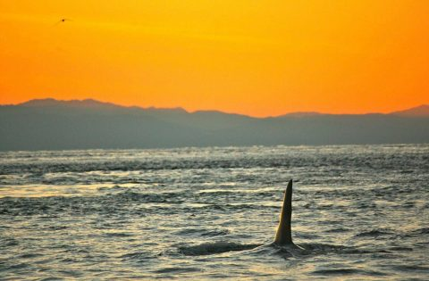 Male Orca whale in the Juan de Fuca Strait