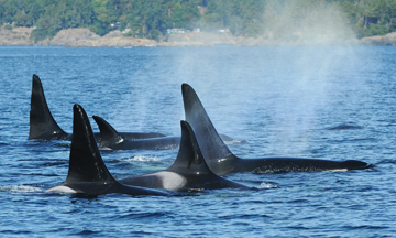 Killer Whale Pod Off Vancouver Island