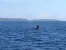Sept 18th 2.30pm whale watching trip with Capt Brett and Dale on Goldwing