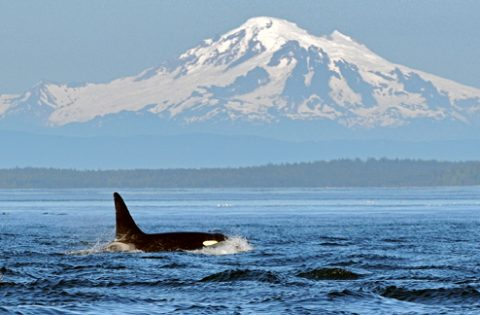 Orca in front of mountains
