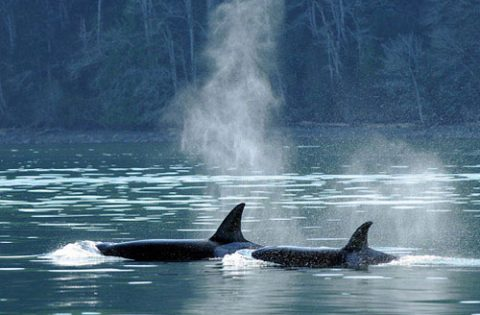 Transient-mammal-eating-orca-swimming-in-tandom