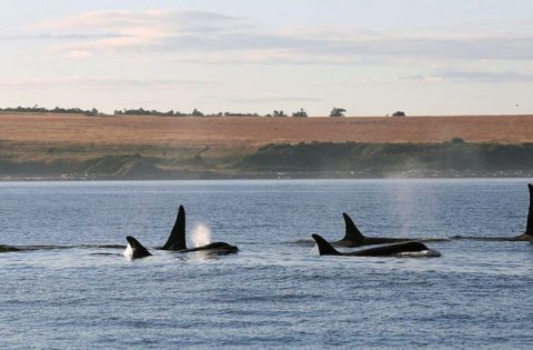 A picture perfect sot of orca along San Juan Island, WA - photo Valerie Shore