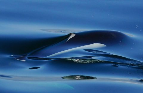 Beautiful image of a Dall's porpoise moments before it breaks the water's surface tension