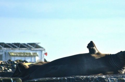 Adult male elephant seal waving hello