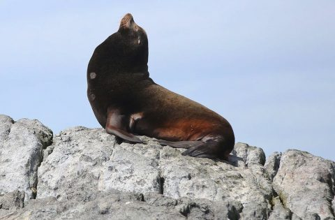 Alpha male California sea lion. Photo: Valerie Shore