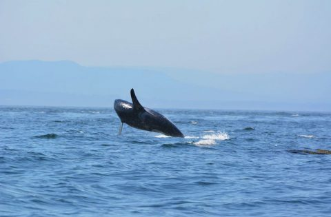 An adult male orca breraching out of the Salish Sea - photo Dale Mitchell