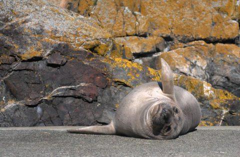 Baby elephant seal at Race Rocks