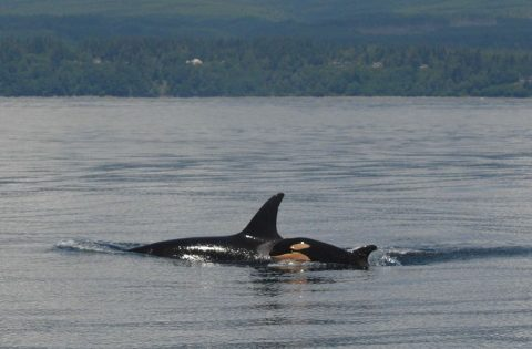 Baby killer whales are cute and orange