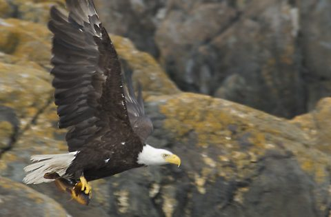 Bald Eagle in flight with something to eat