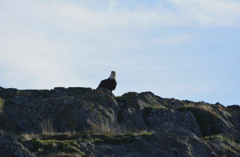 Bald Eagle looking out from Church Rock in Sooke, BC - photo Dale Mitchell