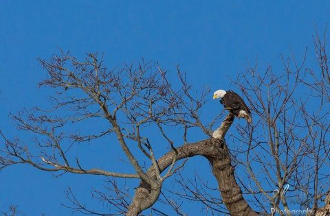 Bald Eagle perched high in a tree looking for food - photo Clint Rivers