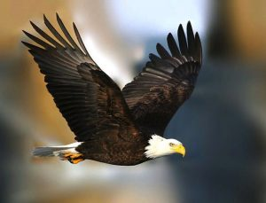 Bald-Eagles-have-a-6-foot-wing-span-300x229.jpg