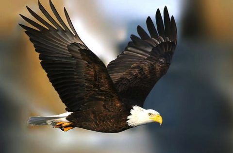 Bald Eagles have a 6 foot wing span