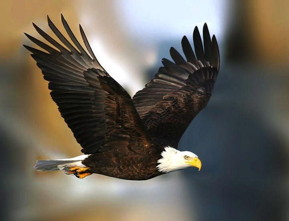 Bald Eagles Victoria Bc Eagle Wing Tours