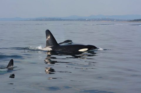 Big male transient orca leading the charge - photo Dale Mitchell