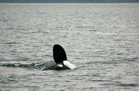 Big pectoral fin on male orca