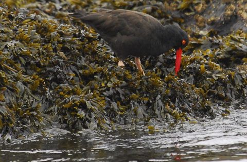 Black Oyster Catcher feeding in the kelp at low tide