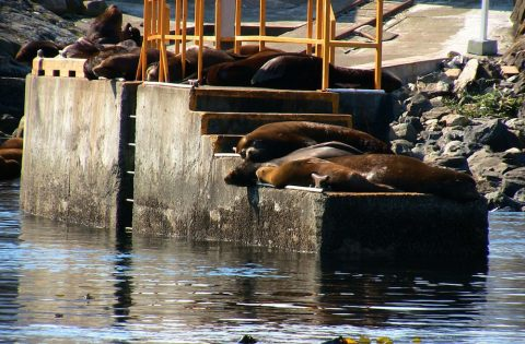 The concrete boat ramp at Race Rocks Ecological Reserve is a popular place for sunbathing sea lions