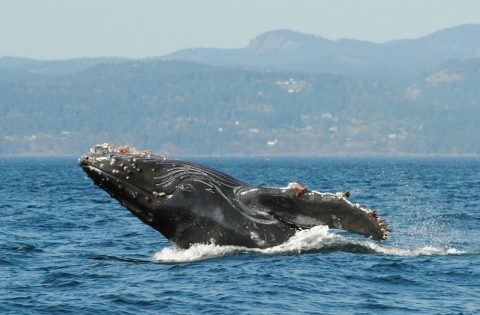 Barnacles hitching a ride on a humpback whale
