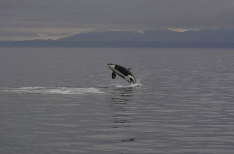 Breaching killer whale off Victoria, BC 1:3- photo Dale Mitchell