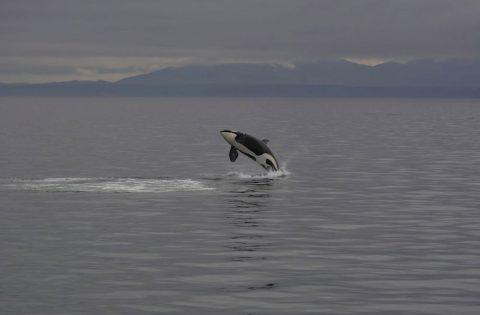 Breaching killer whale off Victoria, BC 1:3- photo Dale Mitchell