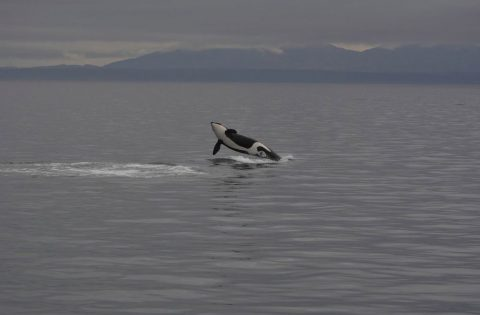 Breaching killer whale off Victoria, BC 2:3 - photo Dale Mitchell