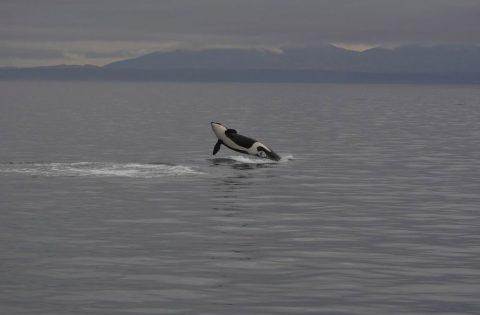 Breaching killer whale off Victoria, BC 2:3 - photo Dale Mitchell