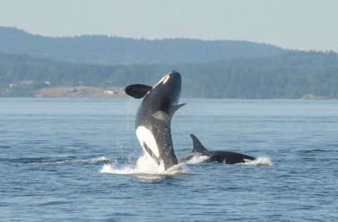 Breaching or jumping orca whale