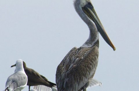 Brown Pelicans are rare in Victoria, BC