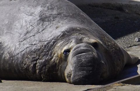 Battle scars on an adult male elephant seal