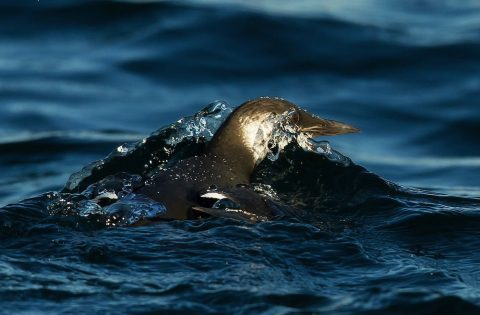 Common Murre - Clint Rivers
